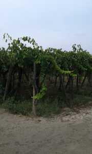 Terreno in Vendita a Cerignola San Michele Delle Vigne